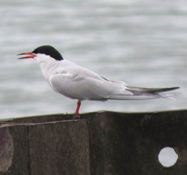 Common Tern Magee Marsh Estuary 5_16_2015